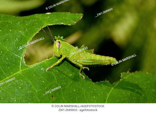Grasshopper (Orthoptera order, Caelifera sub-order) feeding on leaf, Klungkung, Bali, Indonesia