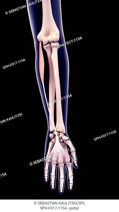 Illustration of the palmaris longus muscle