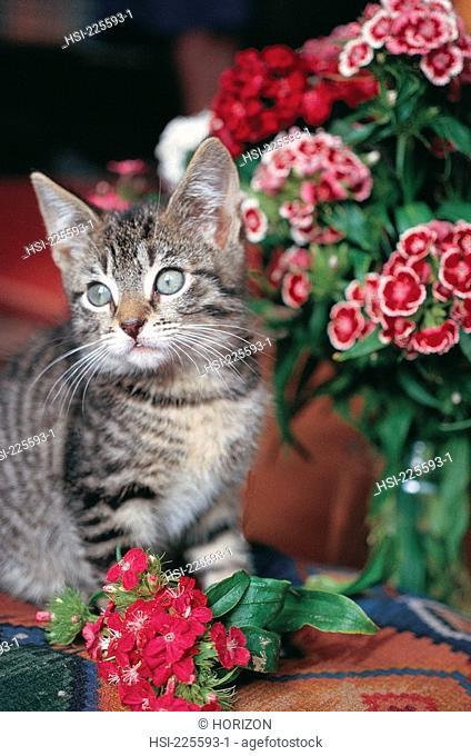 Pets, Cat, Tabby kitten