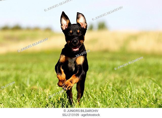 Australian Kelpie. Puppy (12 weeks old) running towards the camera. Germany