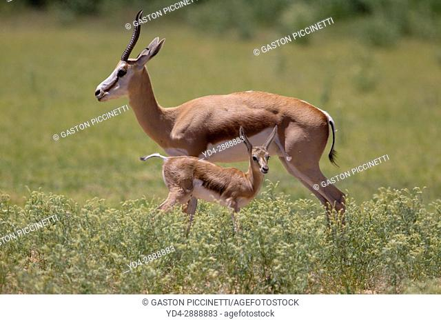 Springbok (Antidorcas marsupialis)- Mother and lamb, Kgalagadi Transfrontier Park in rainy season, Kalahari Desert, South Africa/Botswana