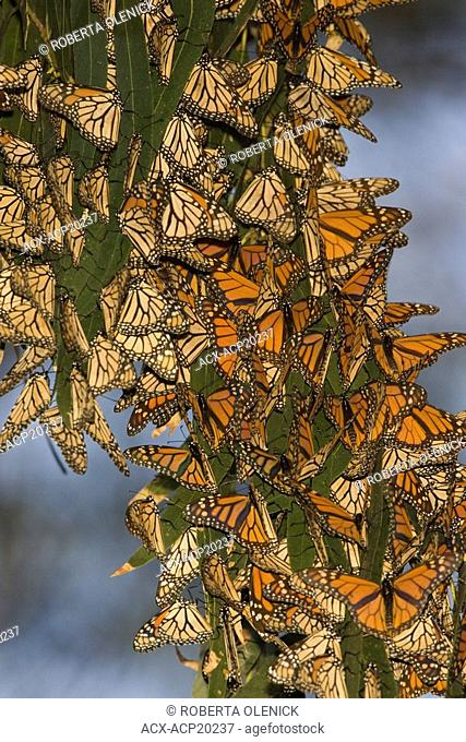 Overwintering Monarch butterflies Danaus plexippus clustered in eucalyptus tree, Pismo Beach, California, USA