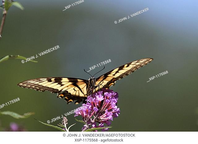A Tiger Swallowtail butterfly, Papilio glaucus, with wings spread feeding on a purple flower but ready for take-off  New Jersey, USA, North America