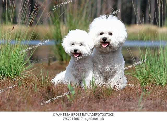 Dog Bichon Frise / adult and puppy sitting in a park