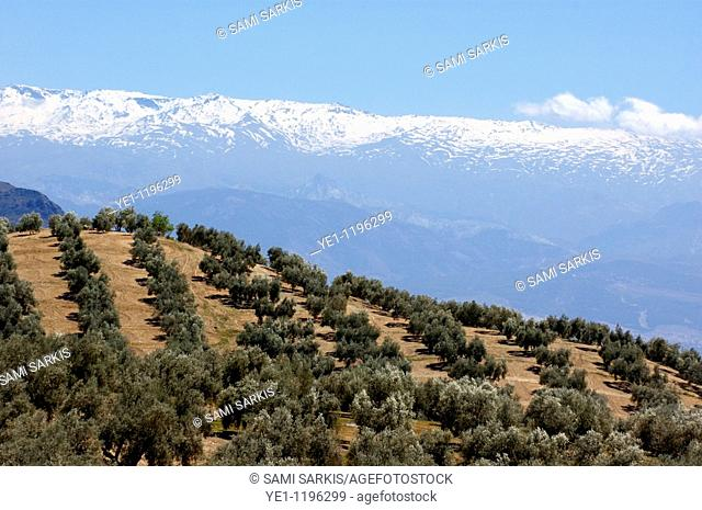 Rows of olive trees against the snowy Alpujarras mountains  in Andalusia, Spain