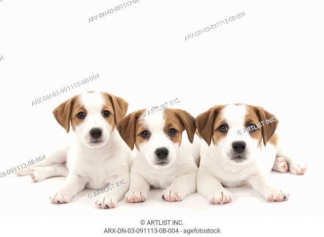 Three puppis lying down