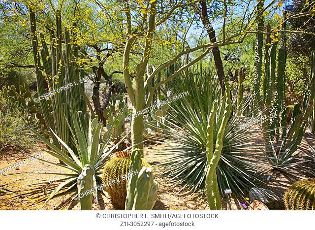 Totem Pole Cactus native to Arizona and Mexico