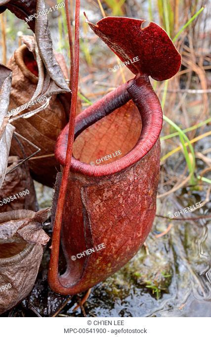 Pitcher Plant (Nepenthes rowanae), Jackey Jackey Creek, Jardine River National Park, Australia