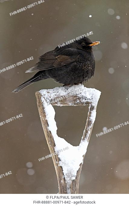 Blackbird (Turdus merula) adult male, perched on snow covered garden spade handle, Suffolk, England, February