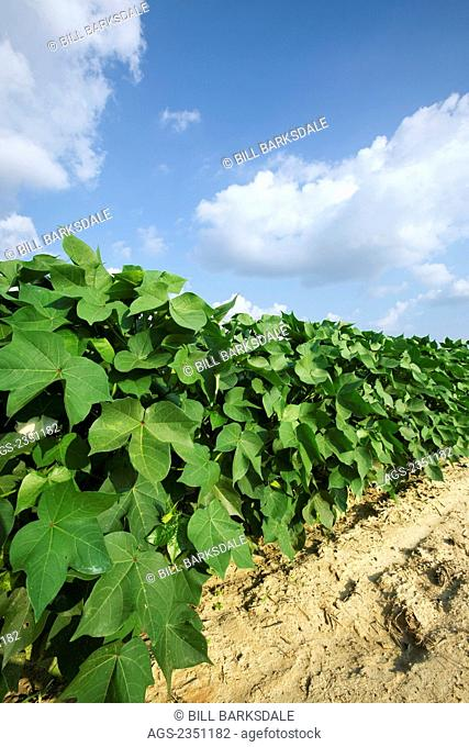 Agriculture - Mid growth cotton plants at the peak of the fruit set stage / Tennessee, USA