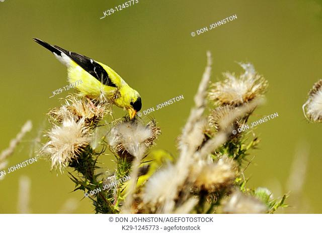 American goldfinch Carduelis tristis Eating thistle seeds