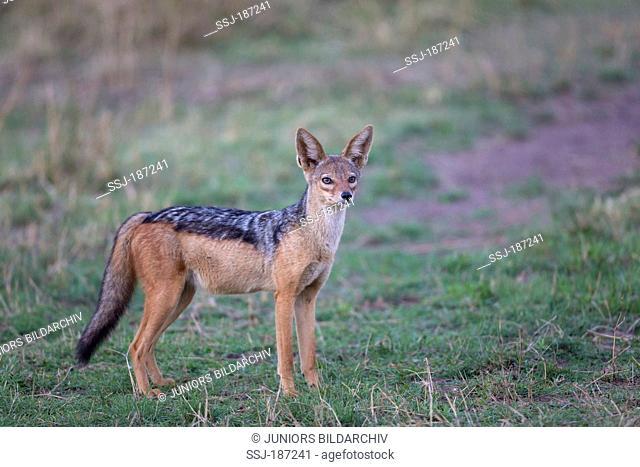 Black-backed Jackal (Canis mesomelas). Adult standing in savanna. Masai Mara, Kenya