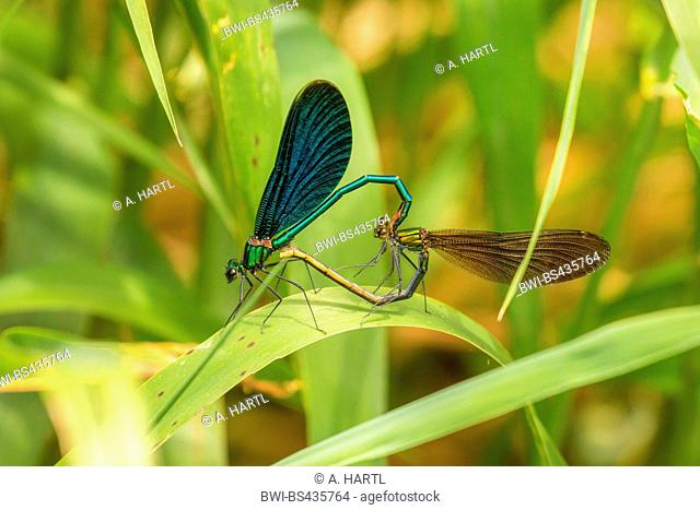 bluewing, demoiselle agrion (Calopteryx virgo), mating wheel, Germany, Bavaria