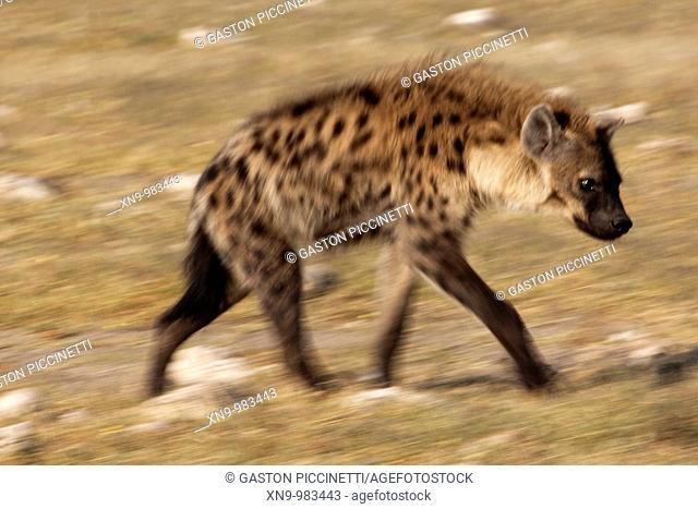 Spotted hyaena Crocuta crocuta, Etosha National Park, Namibia
