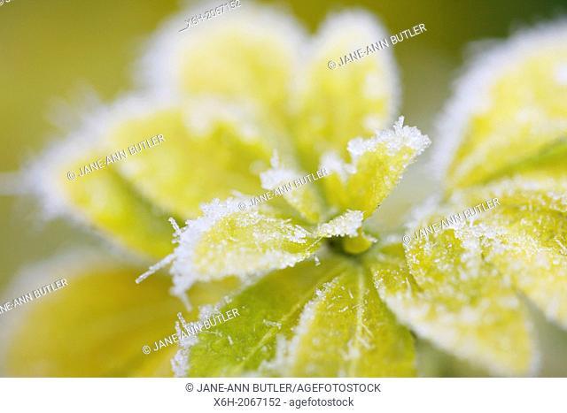 wintry icy choisya leaves