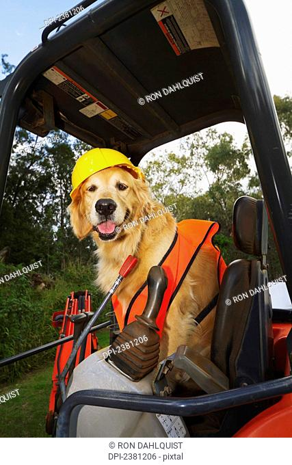 Golden Retriever supervising construction; Maui, Hawaii, United States of America