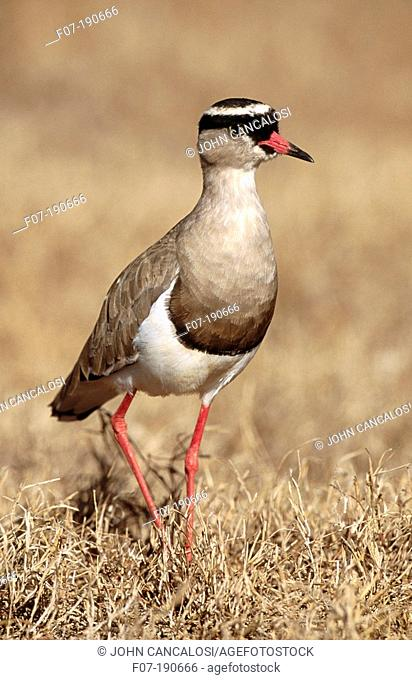 Crowned Plover (Vanellus coronatus). South Africa