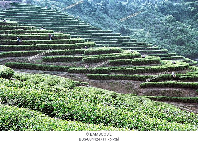The workers picking tea leaves, Youshan tea garden, Shoushan Township, Fuzhou City, Fujian Province of People's Republic of China