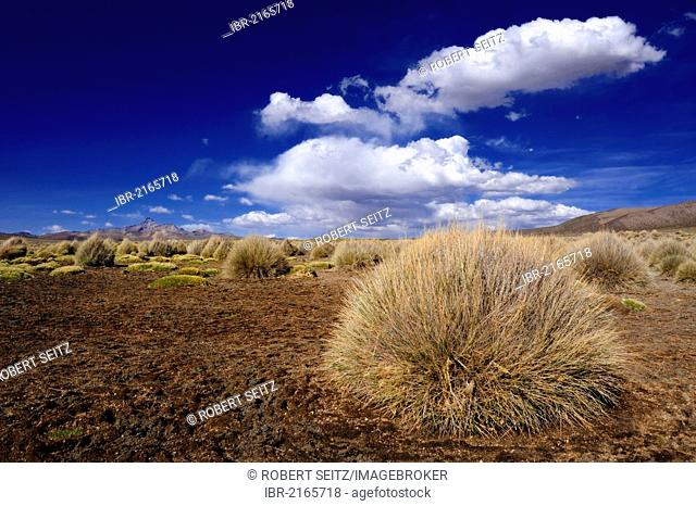 Peruvian Feathergrass (Stipa ichu) against a cloudy sky, Sajama National Park, La Paz, Bolivia, South America