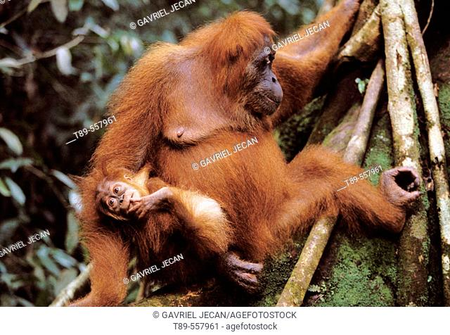 Asia, Indonesia, Sumatra, Orangutan (Pongo Pygmaeus)