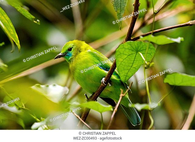 Thailand, Kaeng Krachan, female Blue-winged leafbird