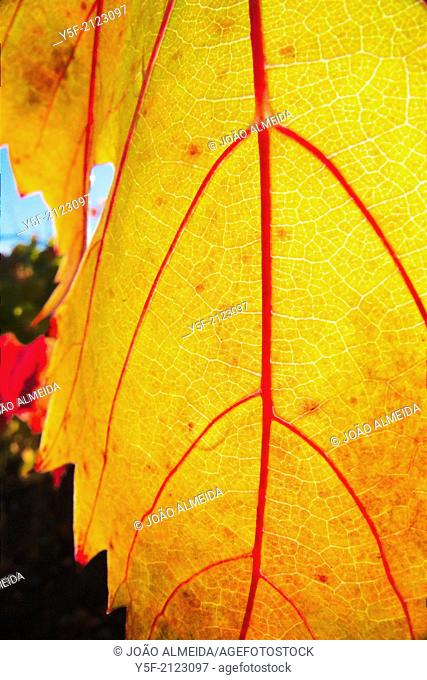 Detail on vine leaves at vineyard at Douro Valley