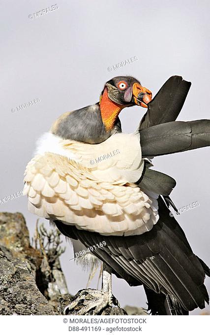 King Vulture (Sarcoramphus papa). Venezuela