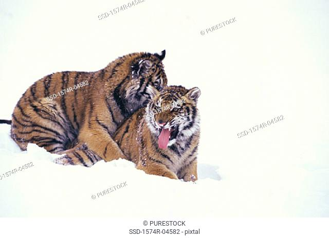 Two Siberian Tigers in the snow (Panthera tigris altaica)