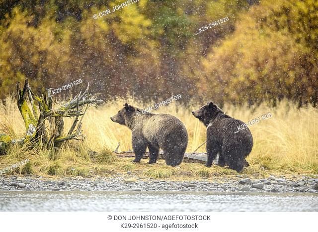 Grizzly bear (Ursus arctos)- Siblings warily observing potential danger near the Chilko River, Chilcotin Wilderness, BC Interior, Canada