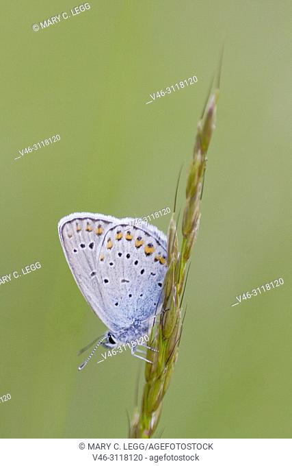 Idas Blue, Plebejus idas are myrmephilic Lycaenidae associatted withLasius and Fromica ants. Meadow grasslands with large variety of flowering plants
