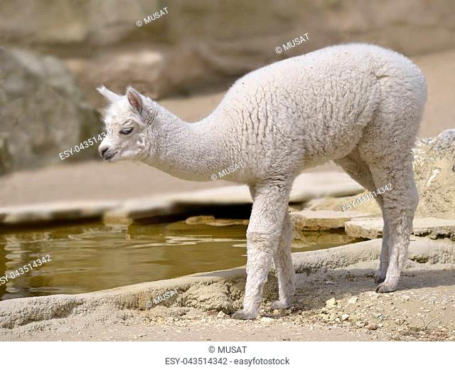 Young white alpaca (Vicugna pacos) standing of profile