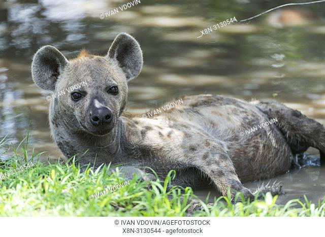 spotted hyena (Crocuta crocuta), Tanzania, East Africa