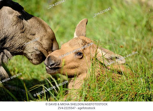 Close-up of a Eurasian elk (Alces alces) mother with her youngster in a forest in early summer