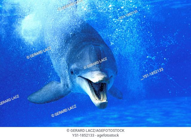 Bottlenose Dolphin, tursiops truncatus, Adult with Open Mouth, Funny Attitude