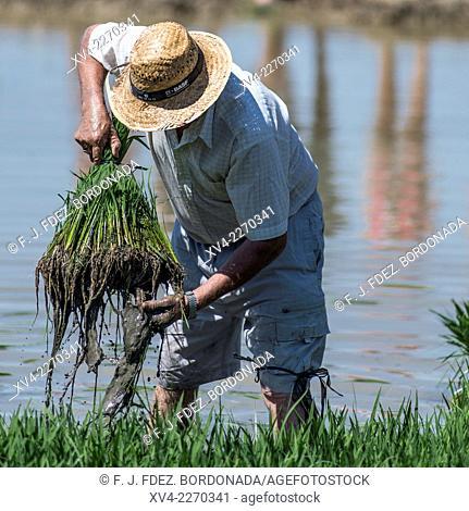 Traditional exhibition of rice plant harvest at Delta del Ebro area. Deltebre Town. Tarragona, Catalonia, Spain