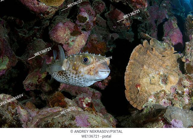 Cyclichtys orbicularis (Orbicular Burrfish) near coral reef, Red sea, Marsa Alam, Abu Dabab, Egypt
