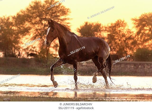 Marwari Horse. Bay mare walking in a lake at sunset. Rajasthan, India