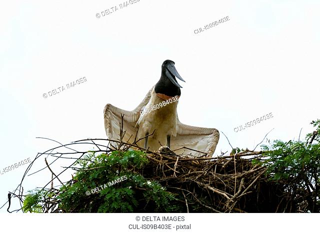 Low angle view of a Jabiru (Jabiru mycteria) standing on nest, Pantanal, Mato Grosso, Brazil