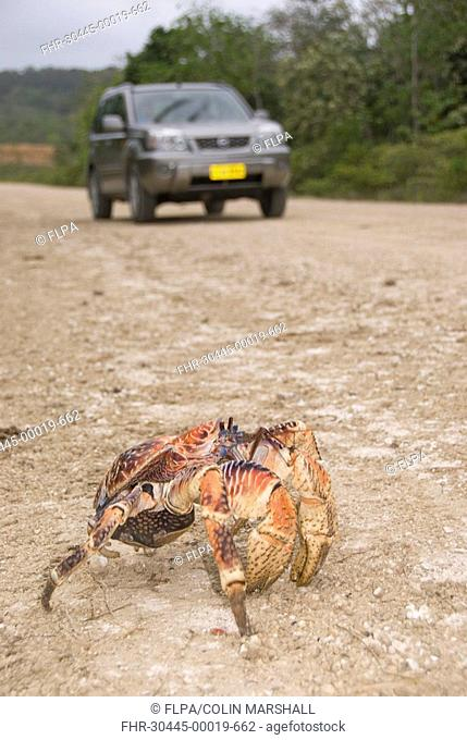 Giant Coconut Crab Birgus latro adult, crossing road with car, Christmas Island, Australia