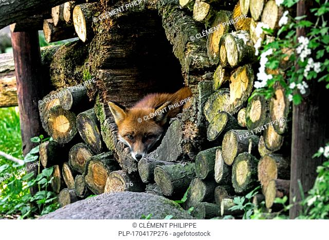 Red fox (Vulpes vulpes) resting in hollow tree trunk in woodpile in forest