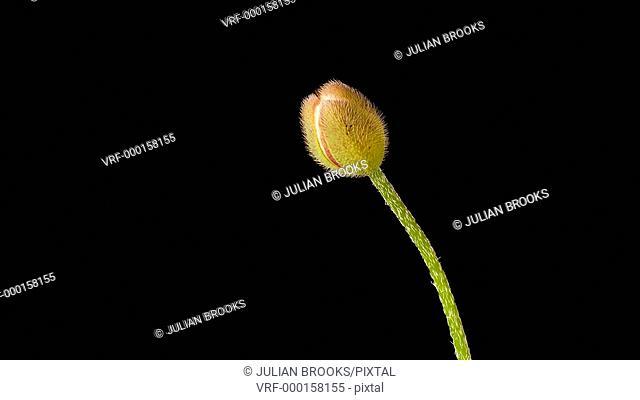 Opium Poppy Papaver somniferum opening, time lapse