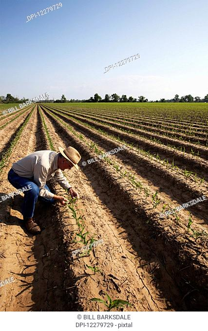 NoneCrop consultant inspecting conventional till corn seedling at four to five leaf stage, soil is bedded to furrow irrigation; England, Arkansas