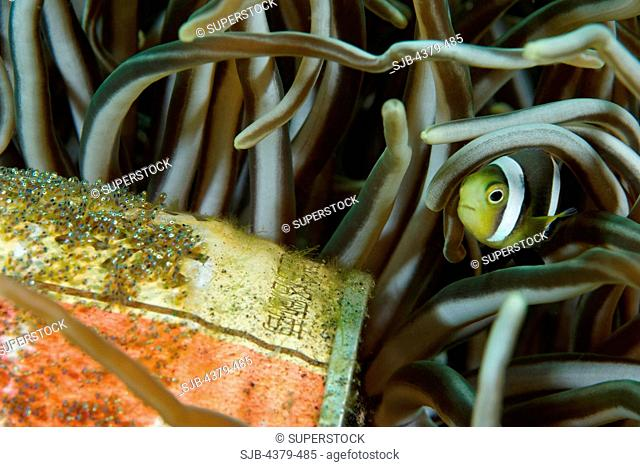 A Clark's anemonefish, Amphiprion clarkii, watches over a clutch of eggs on a tin can at Kungkungan Bay Resort, Lembeh Strait, Sulawesi, Indonesia