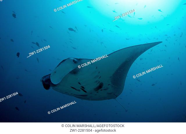 Manta Ray (Manta birostris) with sun in background, Manta Alley dive site, Padar Island, Komodo National Park, Indonesia
