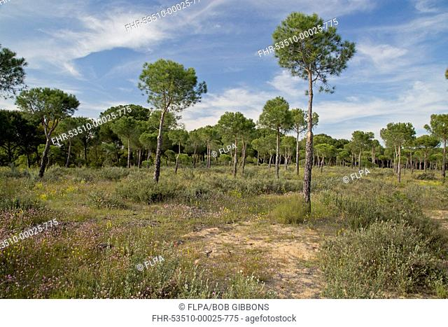 Stone Pine (Pinus pinea) open forest on sand dune habitat, Coto Donana N.P., Andalusia, Spain, April