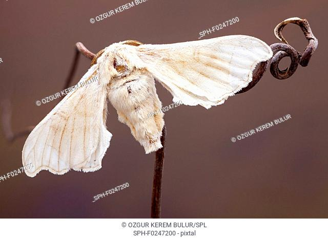 Open winged Silkmoth (Bombyx mori) on a branch