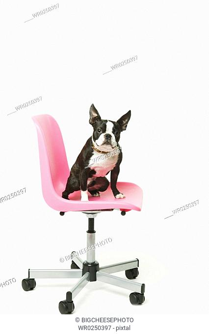 Boston Terrier sitting in office chair