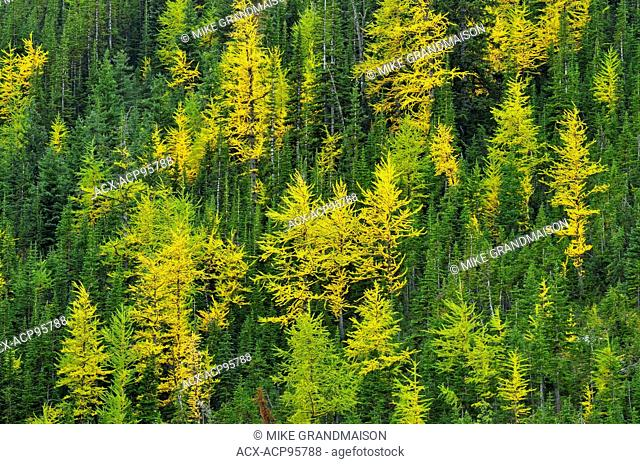 Western larches in autumn color Kananaskis Country Alberta Canada