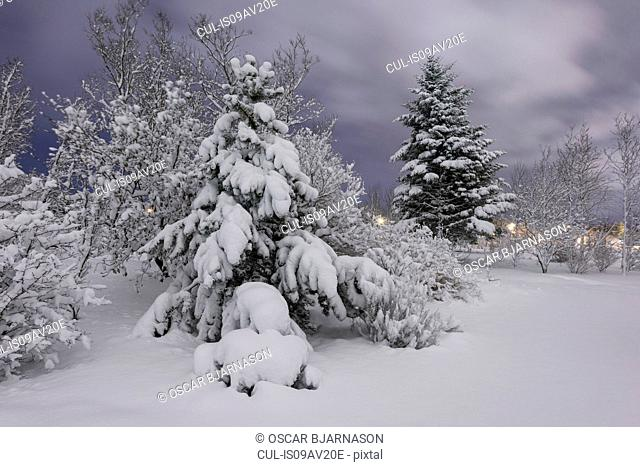 Snow covered tree in forest in botanical gardens, Reykjavik, Iceland