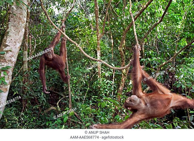 Bornean Orangutan male adolescents 'Percy' aged 8 yars and 'Thomas' aged 10 years swinging on lianas - wide angle perspective (Pongo pygmaeus wurmbii)